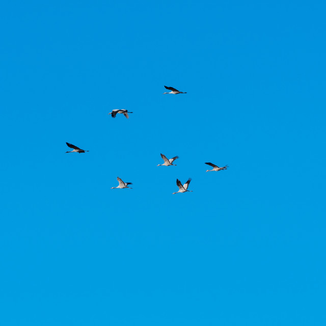 """Group with migrating cranes"" stock image"