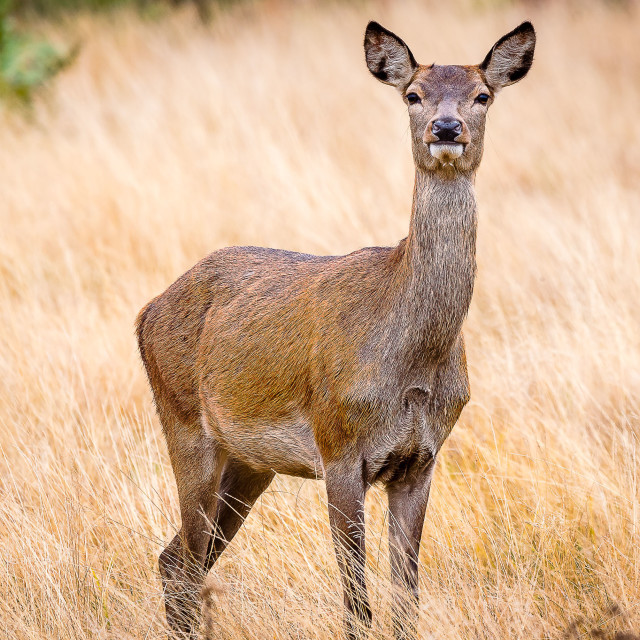 """The Deer"" stock image"
