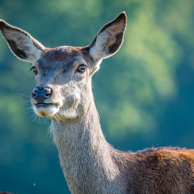 """The Doe"" stock image"