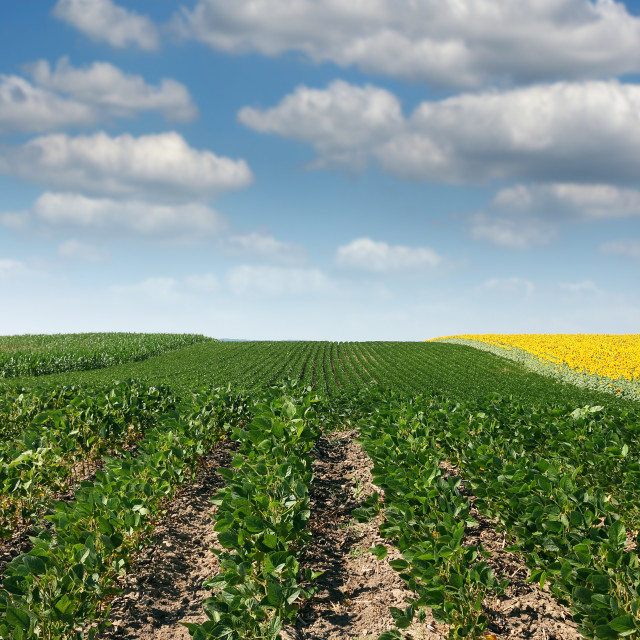 """""""soybean field agriculture summer seasom"""" stock image"""