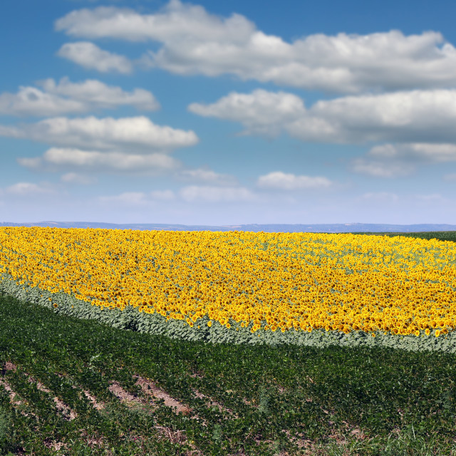 """soybean and sunflower field summer season landscape"" stock image"