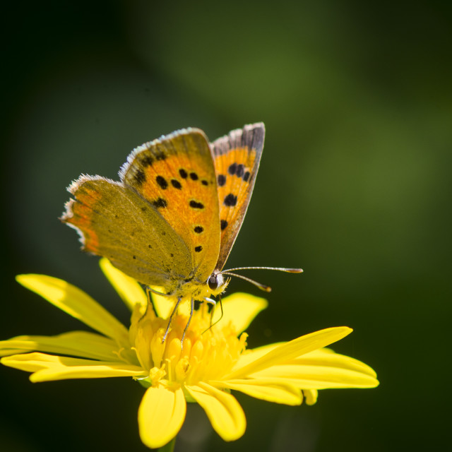 """Small copper butterfly, Lycaena phlaeas, American copper, or common copper on yellow flower"" stock image"