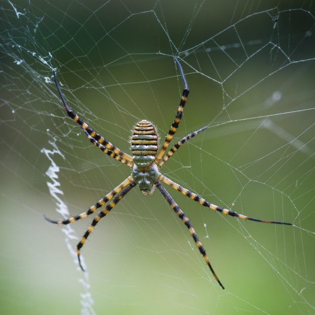 """banded garden spider, Argiope trifasciata, waiting in web cob for prey"" stock image"