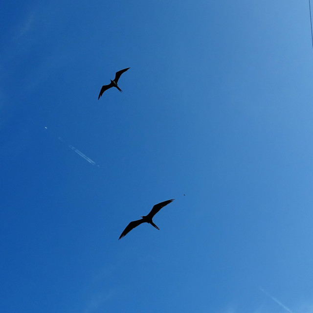 """""""Frigate birds soaring over the Panama canal"""" stock image"""