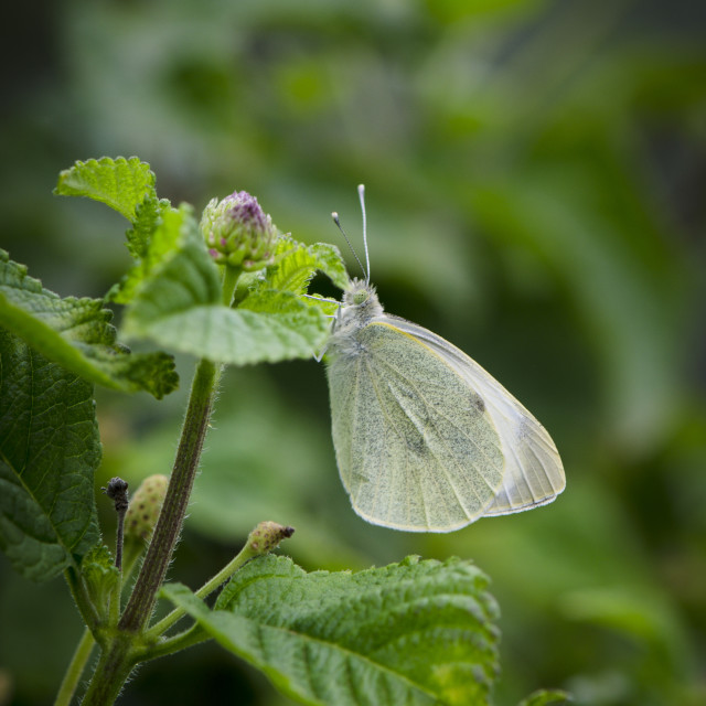 """""""Pieris rapae, small white, Cabbage white butterfly on a clouded day resting on Lantana."""" stock image"""