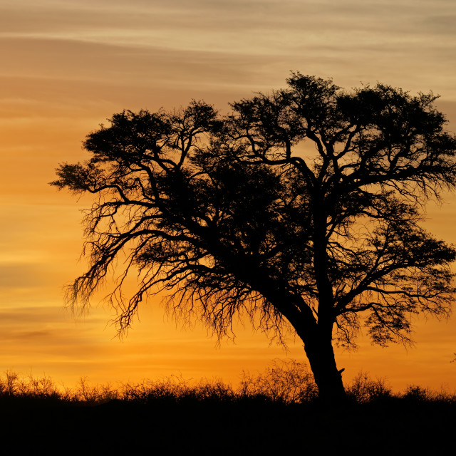 """""""African sunset with silhouetted tree"""" stock image"""