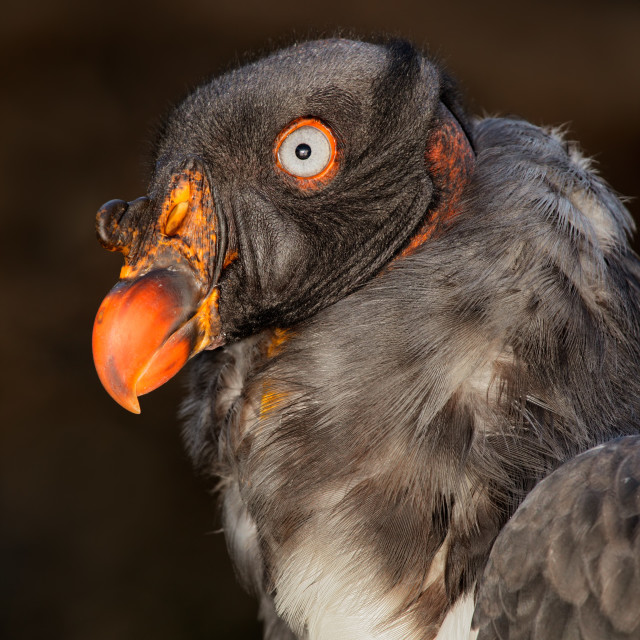 """""""American king vulture"""" stock image"""