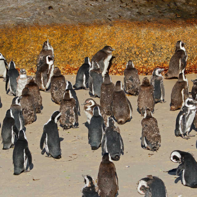 """""""Colony of African penguins"""" stock image"""