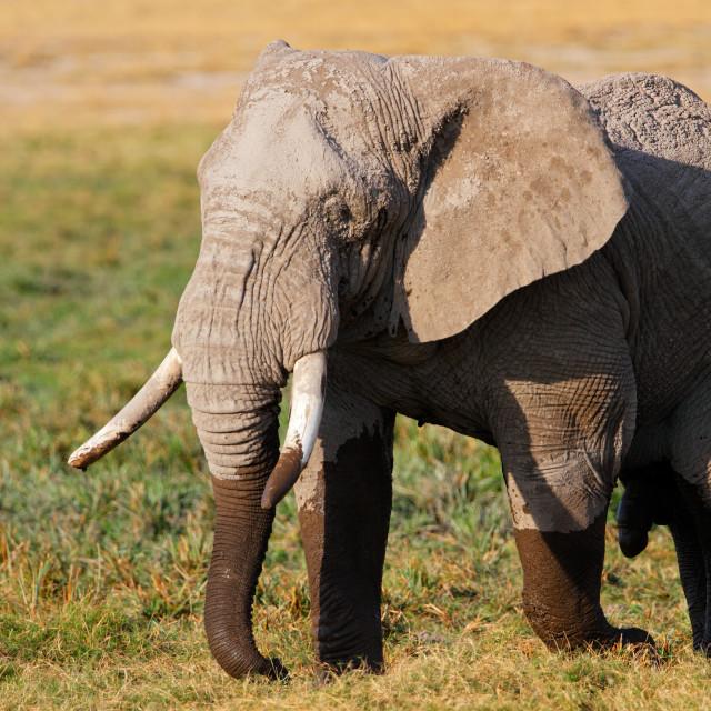 """African elephant"" stock image"