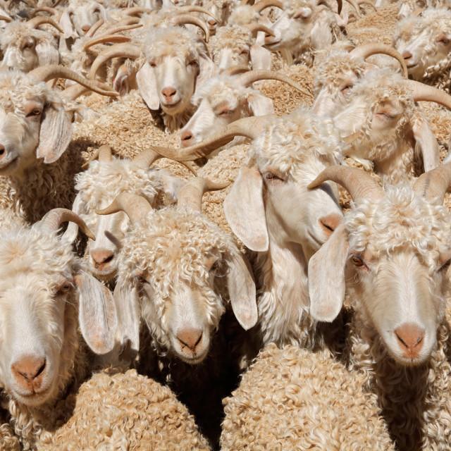 """Angora goats in a paddock"" stock image"