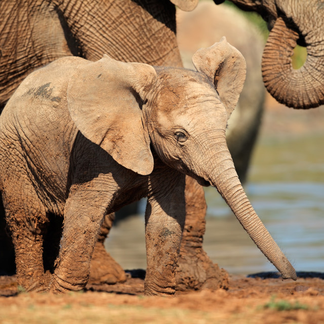 """Baby African elephant"" stock image"