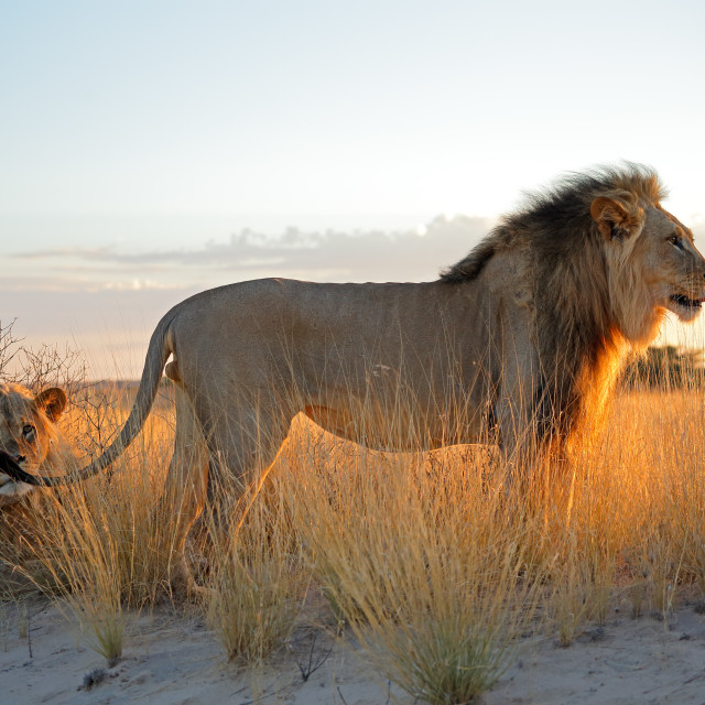 """""""Big male African lions"""" stock image"""