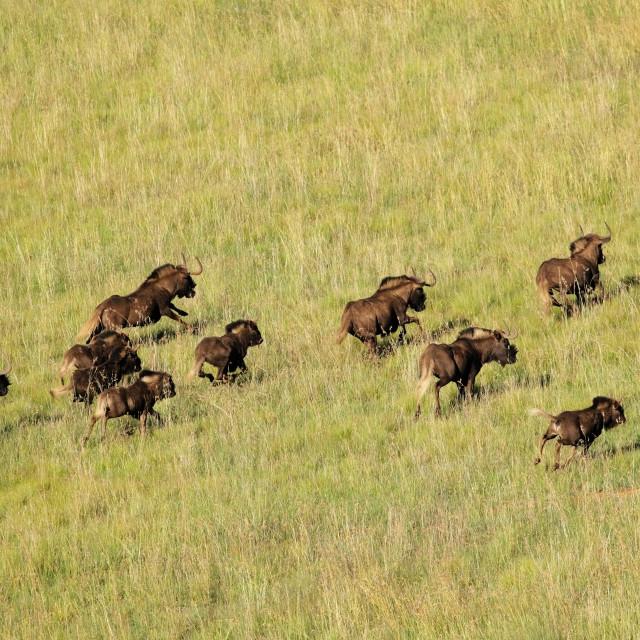 """Black wildebeest running"" stock image"