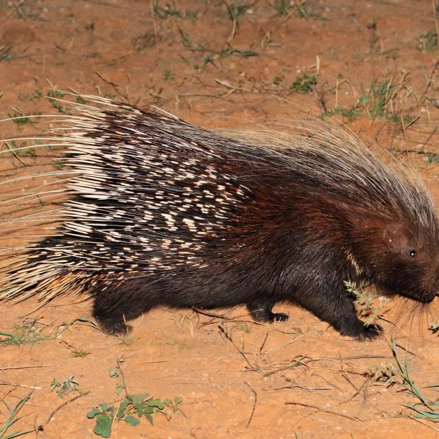 """Cape porcupine"" stock image"