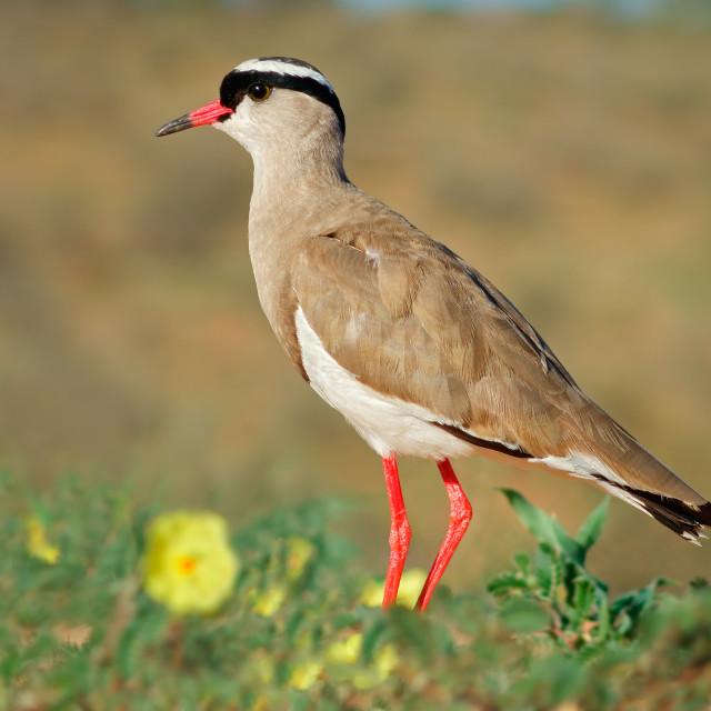 """Crowned plover in natural habitat"" stock image"
