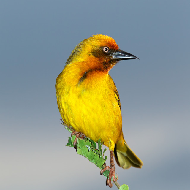 """""""Cape weaver on a branch"""" stock image"""