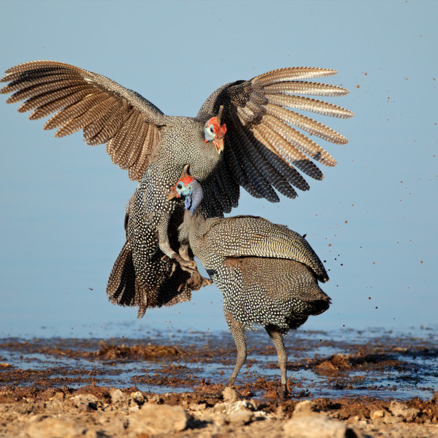 """Fighting helmeted guineafowls"" stock image"