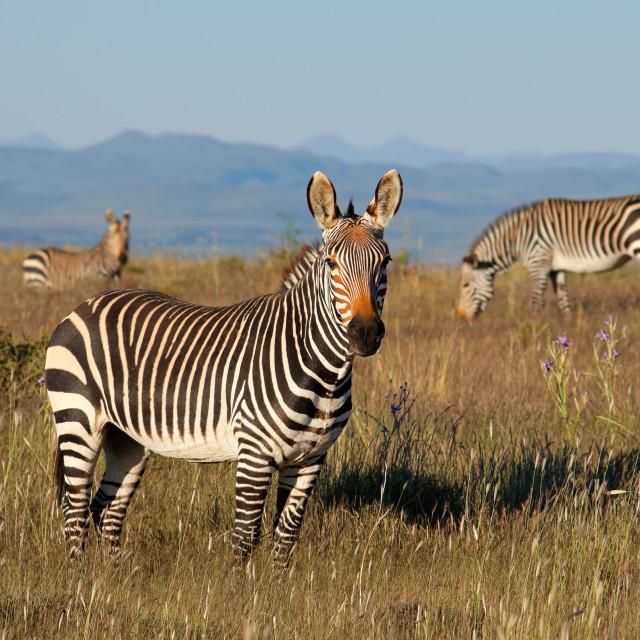 """Cape mountain zebras in grassland"" stock image"