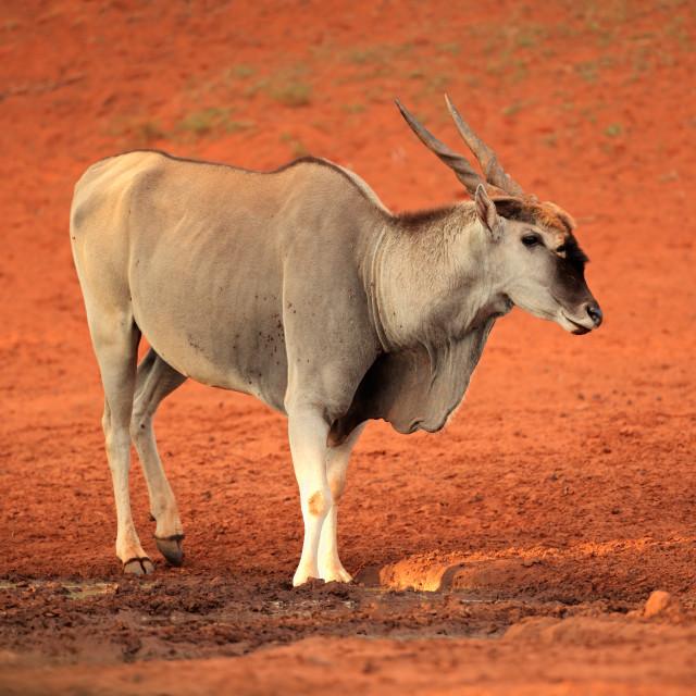 """""""Male eland antelope"""" stock image"""