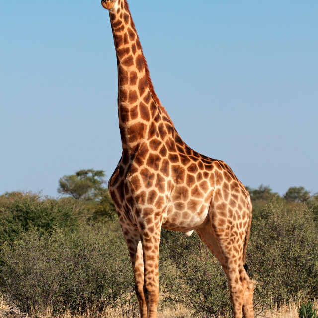 """Large giraffe bull"" stock image"