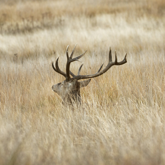 """Red Stag in the Long Grass"" stock image"