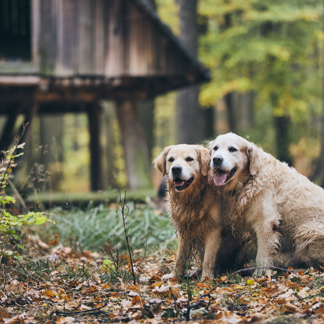 """Couple of old dogs"" stock image"