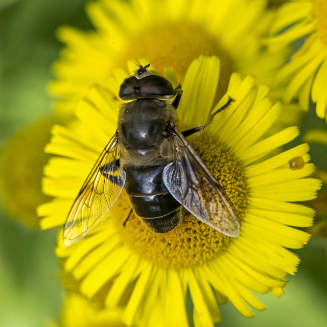 """""""Garden Hoverfly"""" stock image"""
