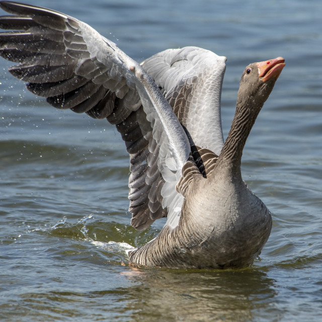 """Greylag Goose Display"" stock image"