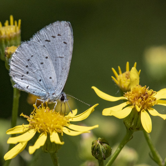 """Holly Blue"" stock image"