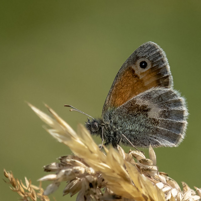 """The Small Heath Butterfly"" stock image"