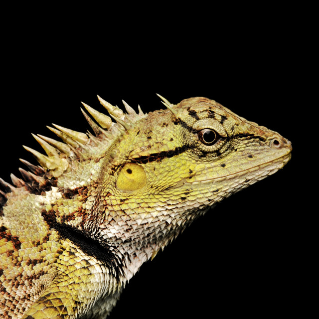 """Skink lizard"" stock image"