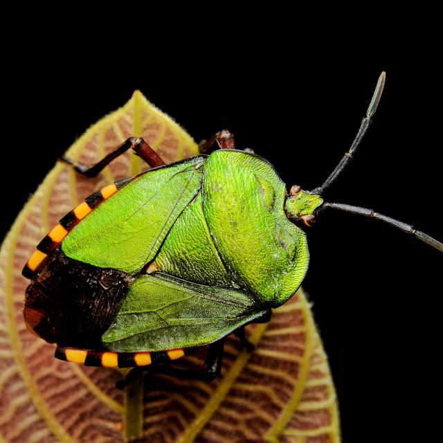 """Green shield bug (Pycanum rubens)"" stock image"