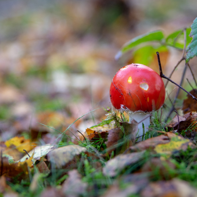 """Red mushroom"" stock image"