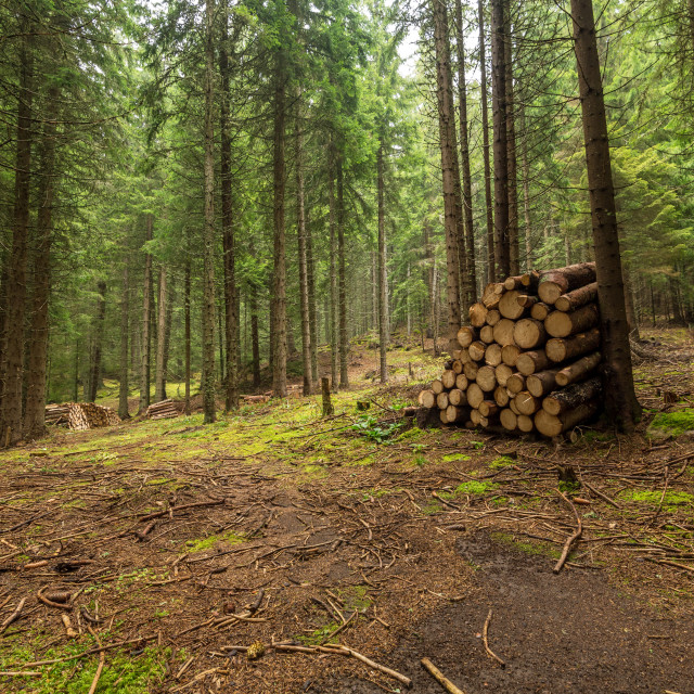 """""""Autumn forest and cut wood arranged along."""" stock image"""