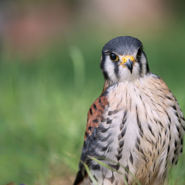 """""""portrait of a young kestrel"""" stock image"""