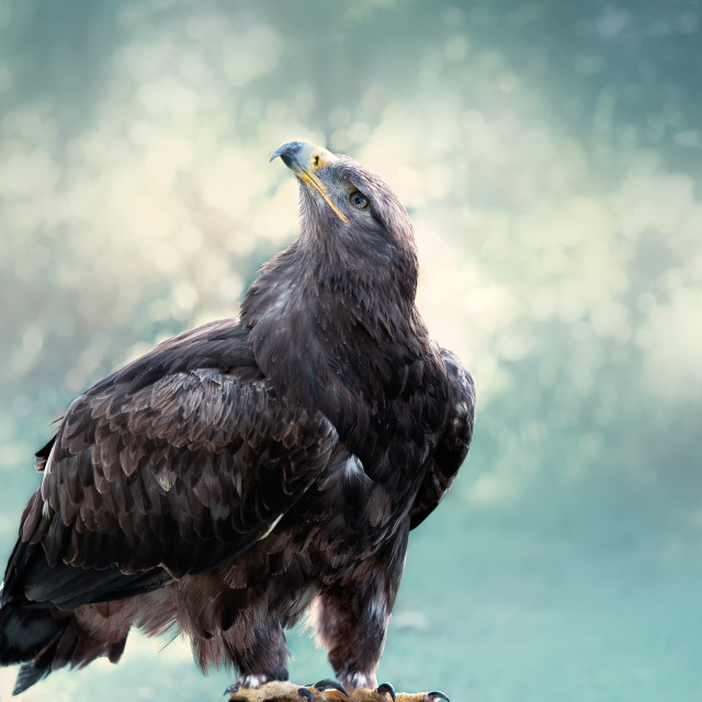 """""""Bald eagle sitting in blue"""" stock image"""