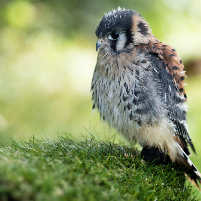 """""""young kestrel head to the left"""" stock image"""