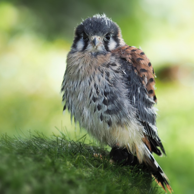 """""""portrait of a young kestrel looking straight"""" stock image"""