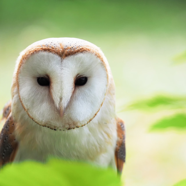 """Barn owl looking straight with eyes open"" stock image"