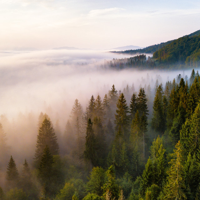 """Beautiful foggy sunrise in mountains. Fir forest in clouds of mi"" stock image"