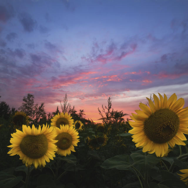 """Sunflower Sunset II"" stock image"