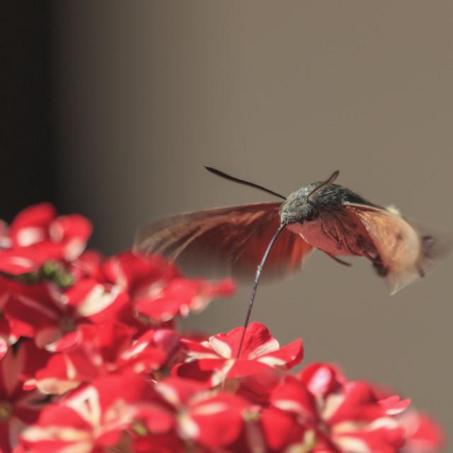 """""""Hummingbird hawk-moth picking nectar from red flowers. Lot. Macroglossum stellatarum"""" stock image"""