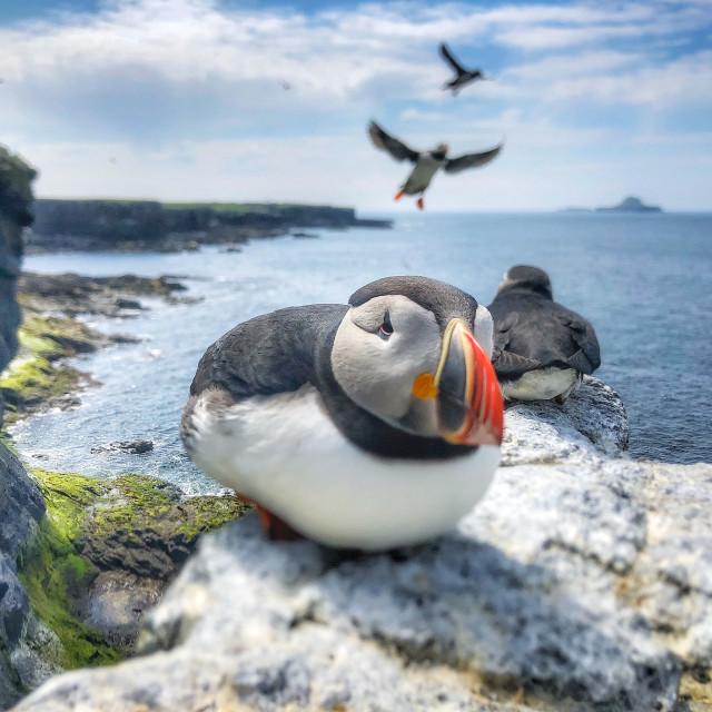 """Resting puffin, Lunga, Treshnish Isles, Scotland"" stock image"
