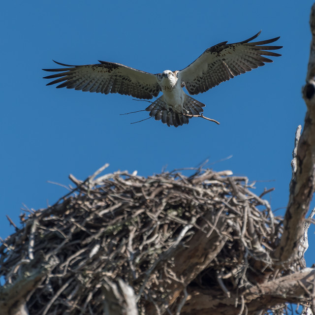 """An Osprey landing"" stock image"