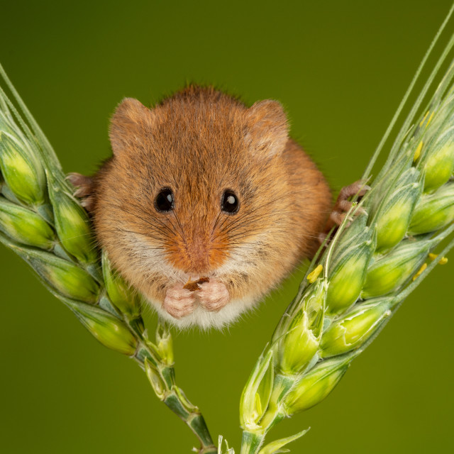"""""""A Harvest Mouse on Barley"""" stock image"""