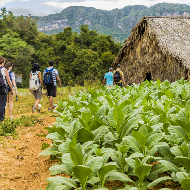 """""""Tourists visiting a tobacco plantation in Vinales National Park, a UNESCO..."""" stock image"""