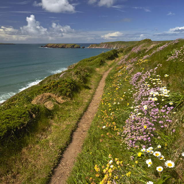 """""""Spring flowers growing alongside the Pembrokeshire coastal path above..."""" stock image"""