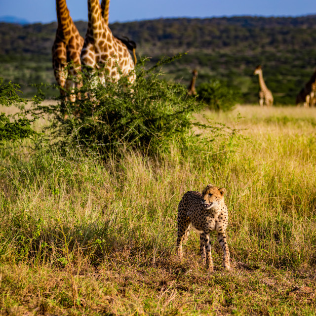"""Cheetah, Acinonyx jubatus and Giraffe, Giraffa camelopardalis, Zululand,..."" stock image"