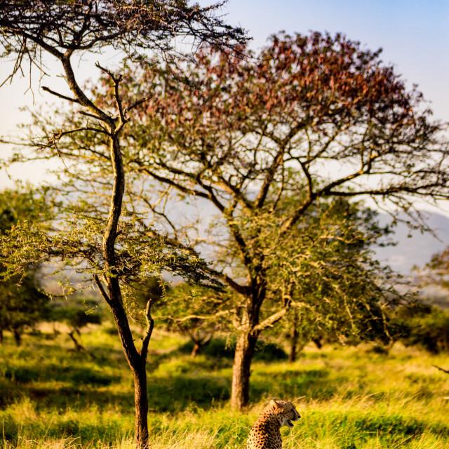 """Cheetah, Acinonyx jubatus, Zululand, South Africa"" stock image"