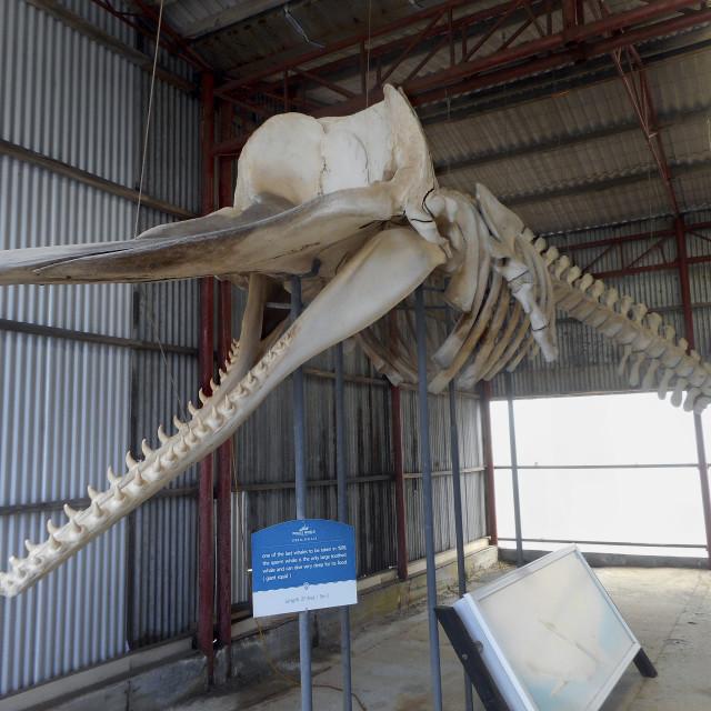 """Sperm whale skeleton"" stock image"